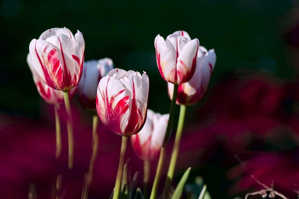 Tulipaner, flerfarvede kronblade